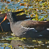 Common Moorhens feeding on aquatic plants.
