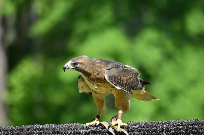 Accipitridae -  Buteo jamaicensis - Red-tailed Hawk