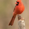 Northern Cardinal Male on Tree Trunk
