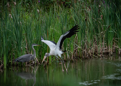 Wood Stork and Great Blue Heron