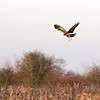 Marsh Harrier over Otmoor 29th November 2016