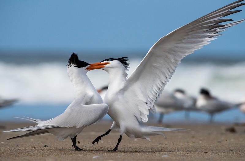 Elegant Terns courting
