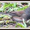 Female Dark-eyed Junco