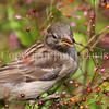 Passer domesticus – House sparrow 8