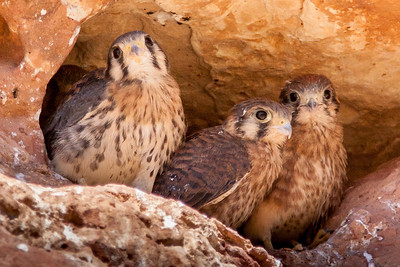 These kestrel fledglings were safely ensconced inside a crevice in the rocks above the petroglyph panels at Medicine Lodge State Historic Site in Wyoming.