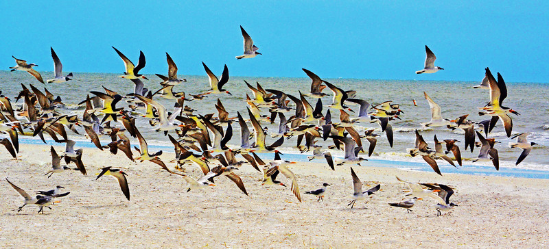 Various birds in flight and on the beach on fort Myers Beach on a windy day.
