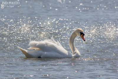 Beautiful serene nature image of mute swan on water bathed in sunshine