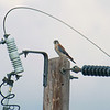 The Kestrels Are Back
