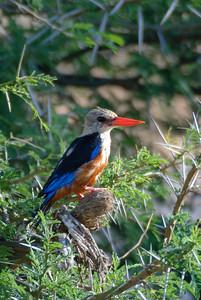 Malachite Kingfisher, Samburu, Africa.