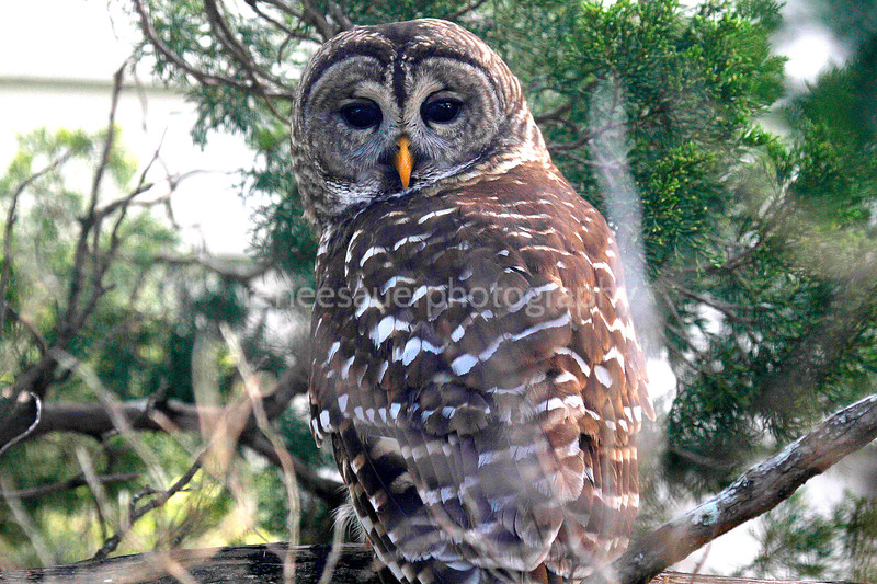 barred owl in wb