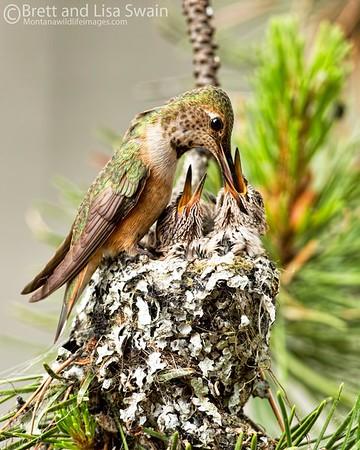 Rufous Hummingbird Feeding Babies