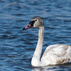 Trumpeter Swan, juvenile, at Horicon Marsh