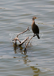 Double-Crested Cormorant-1