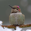 Anna's Hummingbird (winter)