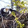 Eagle Feeding Baby
