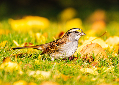 White throated Sparrow, Zonotrichia albicolis