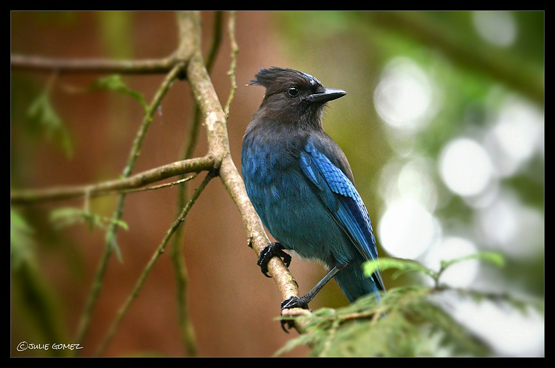 Bold and beautiful is the Steller's jay.  This is one of ten regulars that great me each morning.<br /> <br /> Wildwood, Oregon.  (2014)