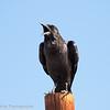 Black Crow aka Cape Crow