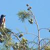 Eastern Kingbird Parent's Protectiveness