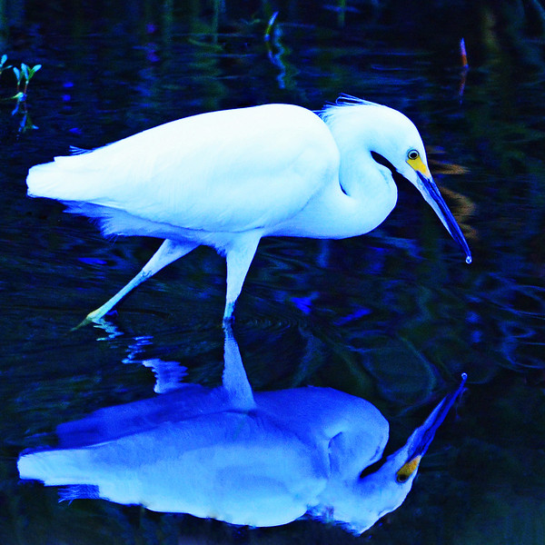 Feeding Snowy Egret. (second version)