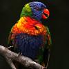 Rainbow Lorikeet, adult
