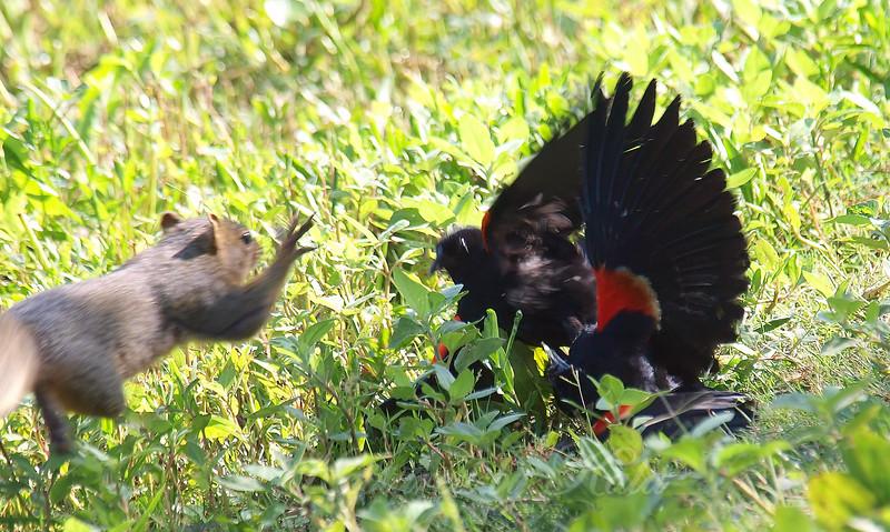 Red-winged Blackbird Death Match 17