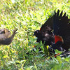 Red-winged Blackbird Death Match 17