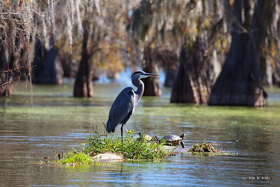 Great Blue Heron and Turtles in Louisiana
