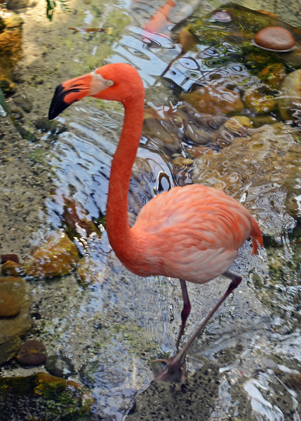 American Flamingo in mating season.