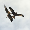 Red Kite Courtship 1