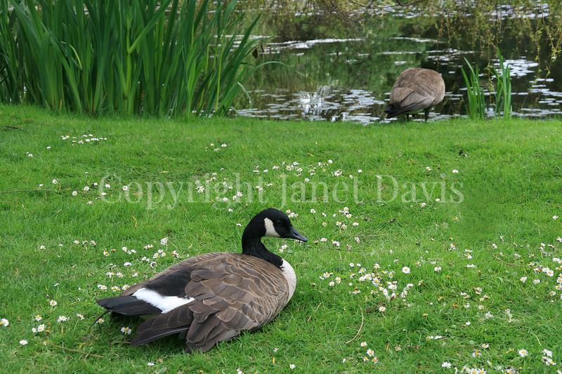 Branta canadensis - Canada geese 4