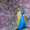 Pavo cristatus – Indian peacock displaying 2