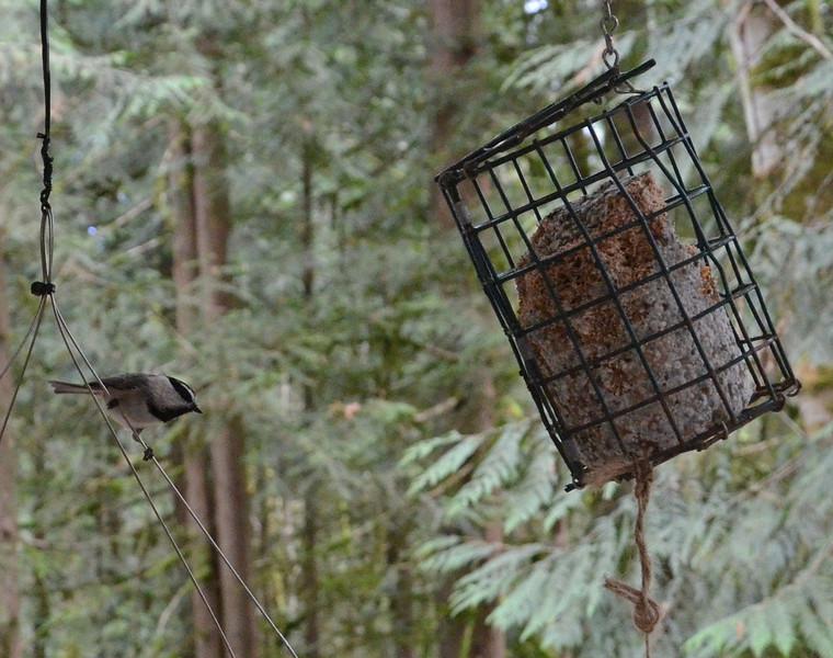 Mountain Chickadee ~ Parus gambeli