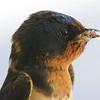 Beak Full Of Bugs