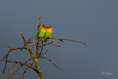 Fischer's Lovebird, Naivasha