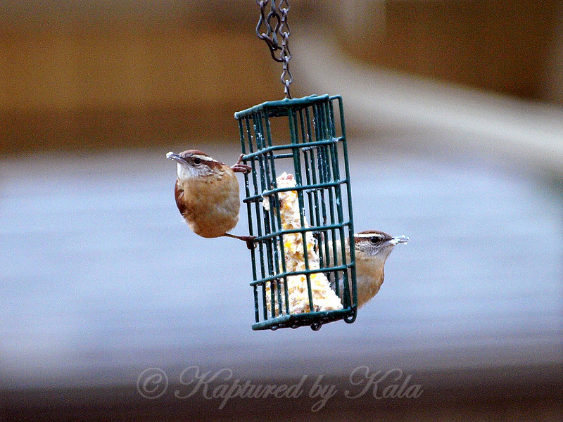 It's Spring And All The Birds Are Pairing Up, Including These Carolina Wren