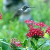 Red Pentas Do Indeed Attract Hummingbirds
