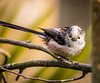 Eye Contact! - Long-tailed tit, Northwood