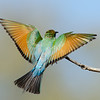 Rainbow Bee Eater,<br /> Gold Coast Spit,<br /> Queensland