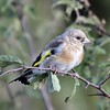 Young Goldfinch at Otmoor