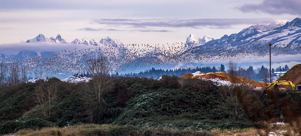 Snow Geese Flying and Mountain Peaks
