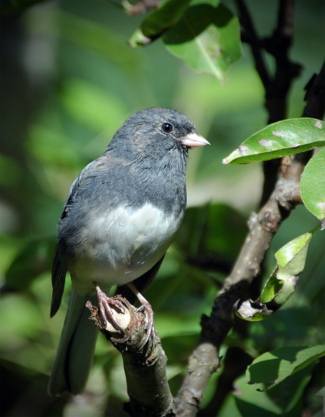 Dark-eyed Junco - Nova Scotia