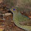 Female Bower Bird, Gold Coast. Qld