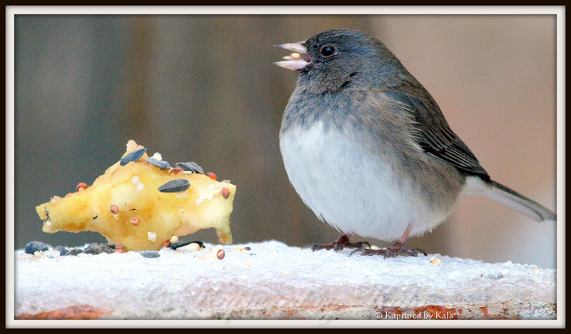 Junco's Delight