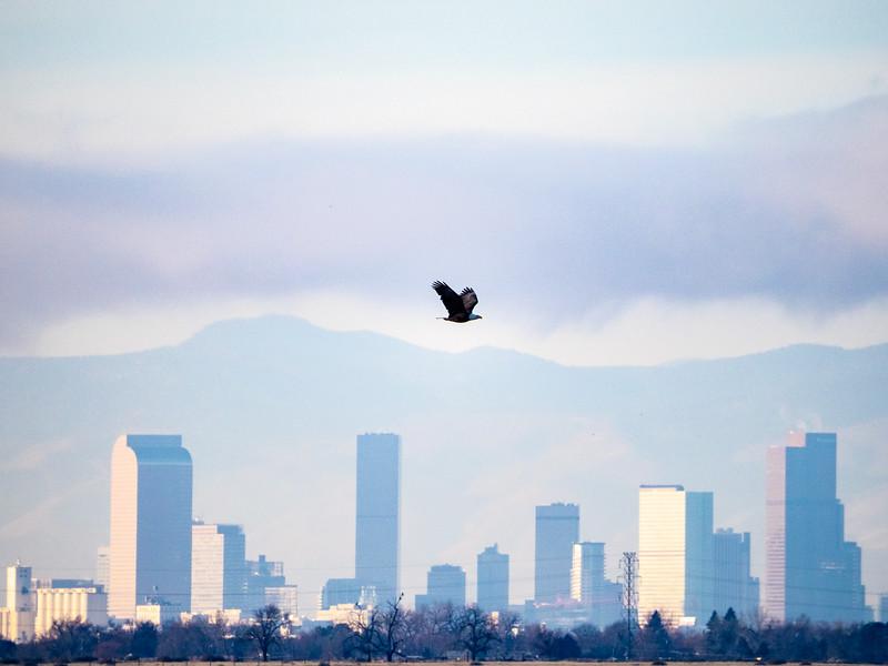 Denver Eagle