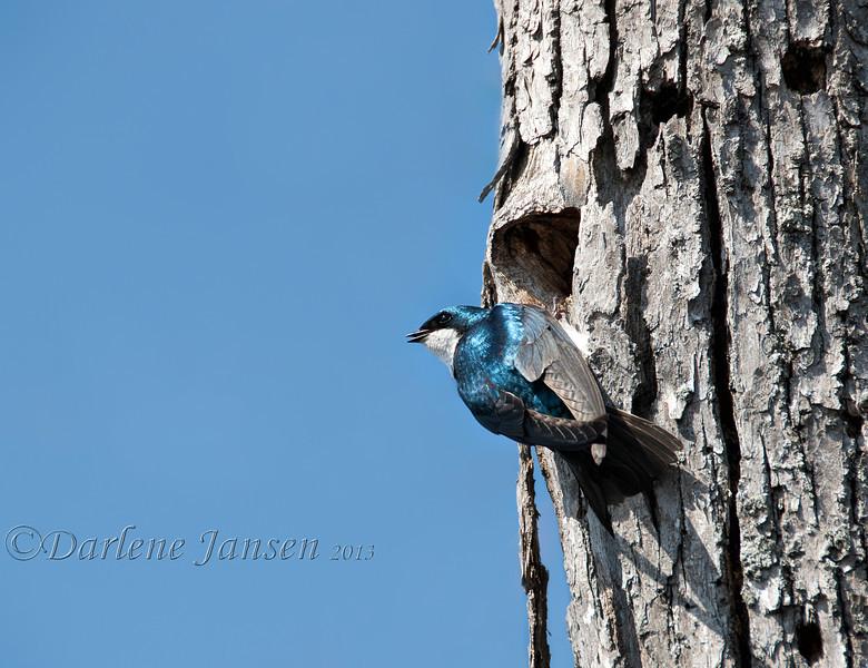 bird; wildlife; tree swallow; wisconsin; darlene jansen photography;