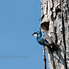 bird; wildlife; tree swallow; wisconsin; darlene jansen photography;