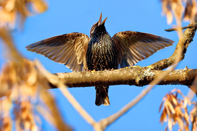 Starling singing with wings spread