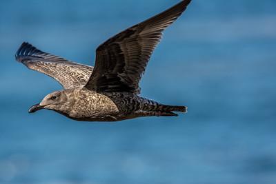 Seagull in Flight II