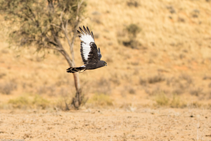 Black Harrier in flight